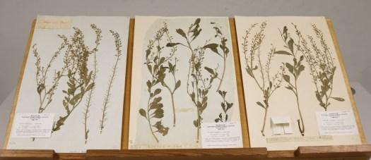 3) Banks Herbarium