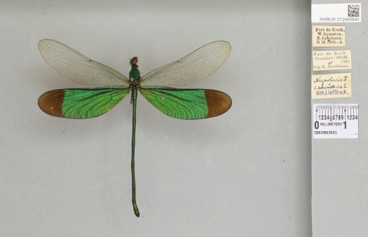 4) Neurobasis chinensis, a damselfly