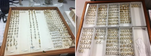 drawers-of-British-Collection-of-Acroceridae