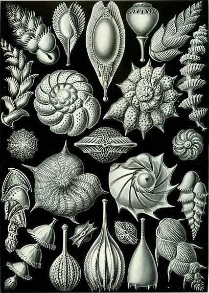 Ernst Haeckel via Wikimedia Commons https://commons.wikimedia.org/wiki/File:Haeckel_Thalamophora_81.jpg