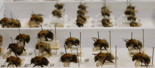 digitsed Bombus specimens