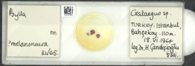 Cacopsylla melanoneura_slide