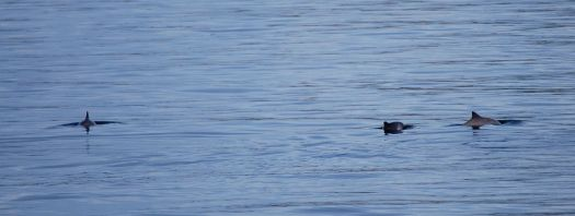 Three harbour porpoises breaching the surface of the water