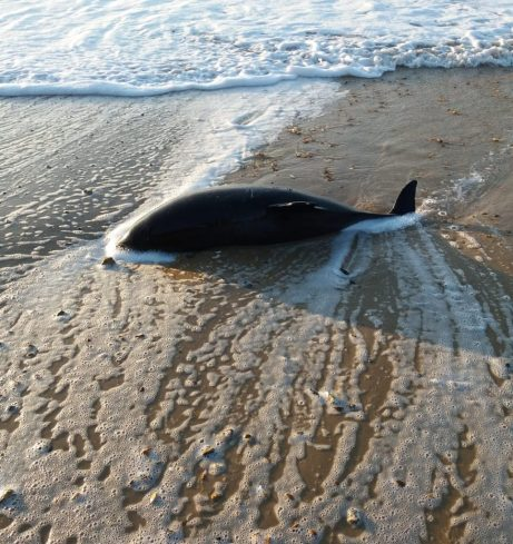 Harbour porpoise washed up in the surf on a beach