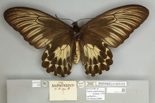 Papilio amphimedon collected by Cramer in 1779
