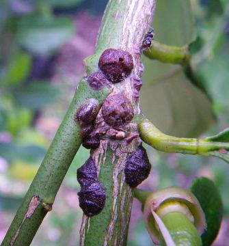 Saissetia_oleae_a significant pest of Olive trees