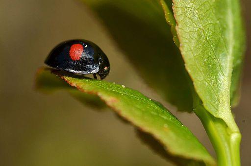 Photograph of kidney-spot ladybird, Chilocorus_renipustulatus