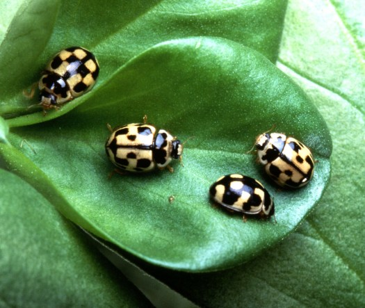 Photograph of four 14-spot ladybirds, Propylea quatuordecimpunctata