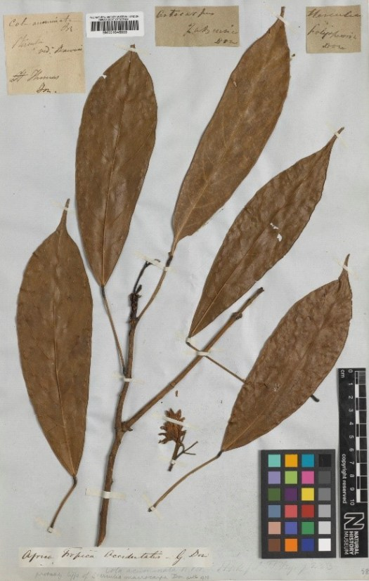 herbarium sheet of Cola acuminata