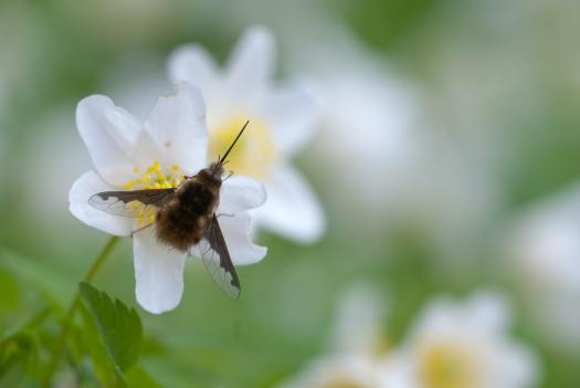 Photograph of the Dark-edged bee-fly (Bombylius major) on a flower.