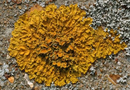 Photograph of a Golden Shield Lichen (Xanthoria parietina) on a concrete wall.