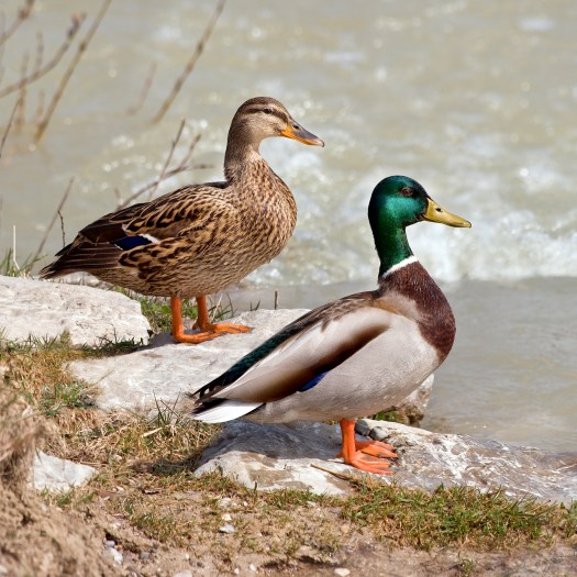 Photograph of a male and female pair of Mallard ducks.