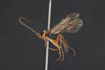 Photo showing a pinned specimen from the collection of the Alexeter, with microscopic detail
