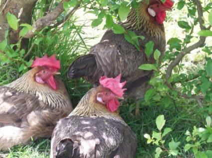 free_range_chickens_211396