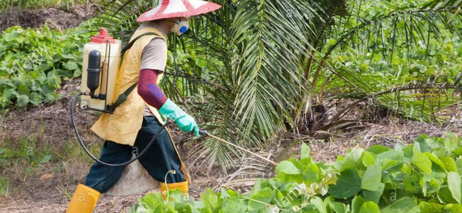 a-worker-spraying-glyphosate-herbicide-around-young-palm-trees-sindora-BGB0HP