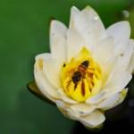 水連とミツバチ