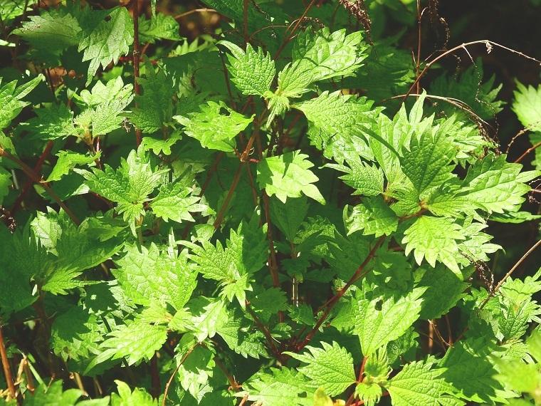 イラクサ(被子植物)