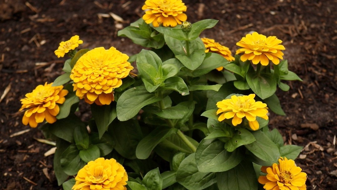 Flower Garden Tour Zinnia