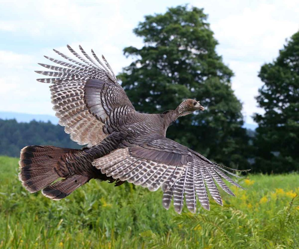 medium resolution of wild turkeys spend 99 9 of their time on the ground and often it is assumed they cannot fly while the wild turkey is one of the heaviest north american