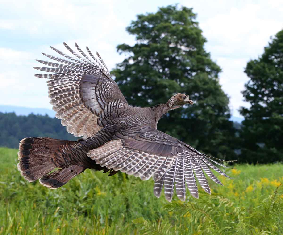 hight resolution of wild turkeys spend 99 9 of their time on the ground and often it is assumed they cannot fly while the wild turkey is one of the heaviest north american