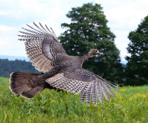 small resolution of wild turkeys spend 99 9 of their time on the ground and often it is assumed they cannot fly while the wild turkey is one of the heaviest north american