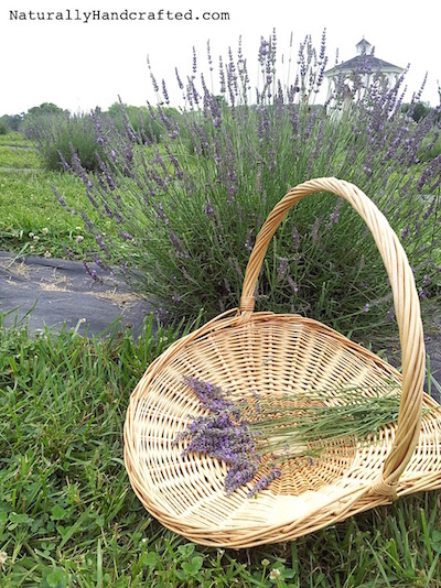 calming lavender body oil fresh lavender