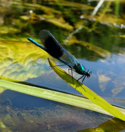 Banded Demoiselle, taken in Dumfries and Galloway. ©Chris McInerny