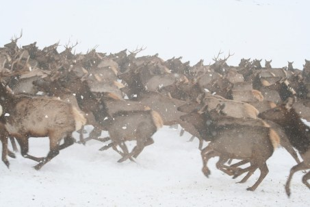 A herd of elk in winter
