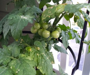 Summer Balcony Garden Fail and Lessons Learned   Naturally Stellar
