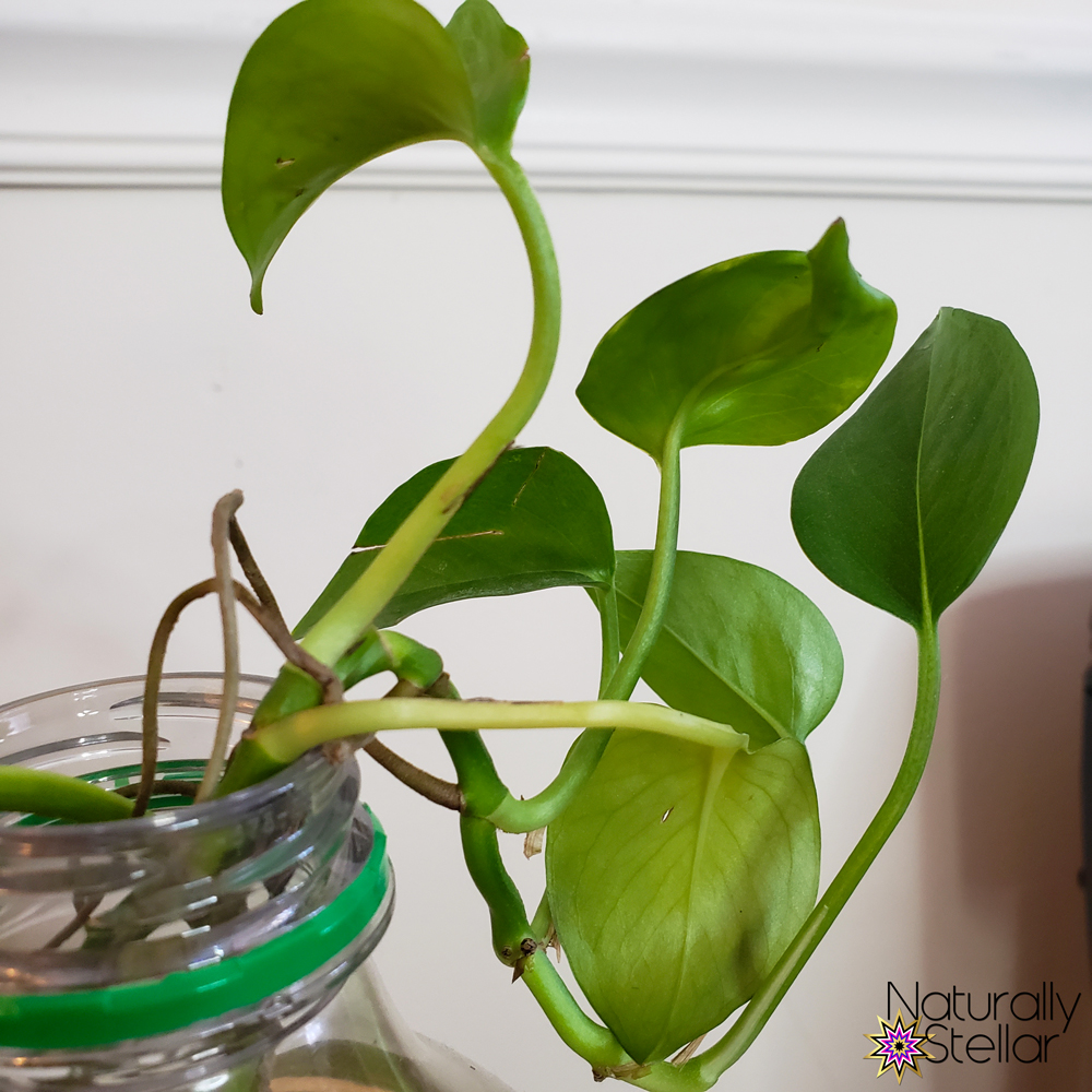 New pothos plant leaves growing