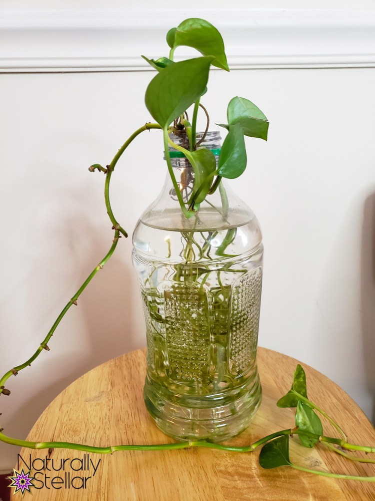 Pothos plant roots soaking in water