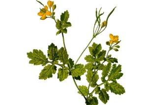 Fiori Gialli Per Verruche.Celidonia La Pianta Che Cura Le Verruche Naturalmente Fatto