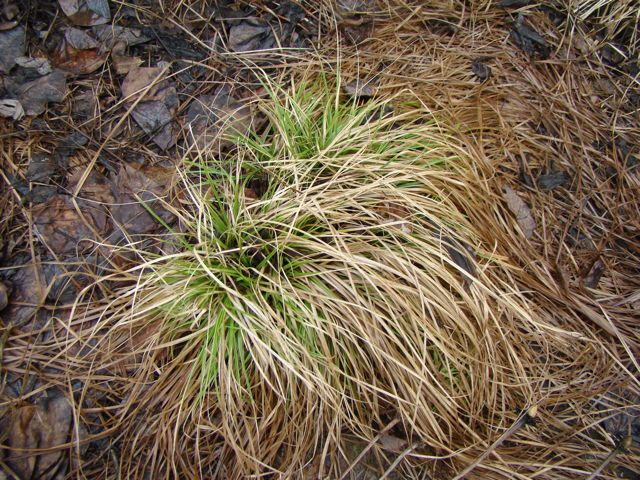 carex sprengellii early spring