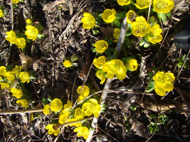 winter aconite 2012