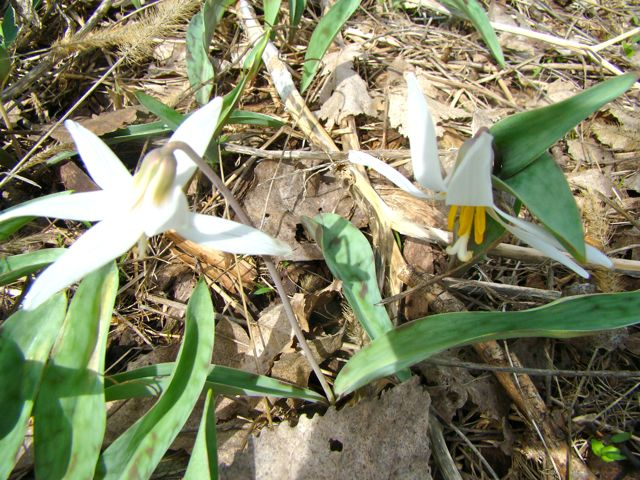 trout lily large