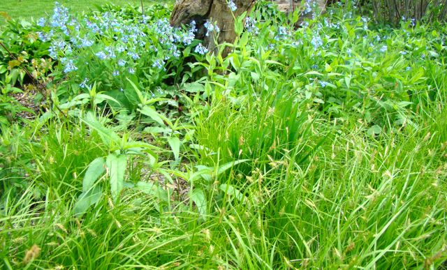 carex sprengellii with bluebells