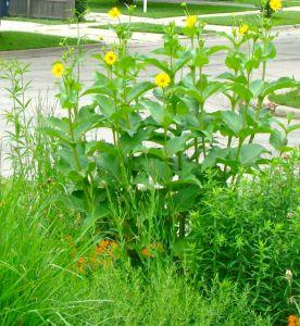 Cup Plant on corner