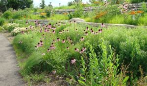 pale purple coneflower and prairie dropseed