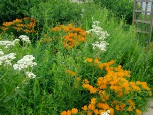 wild qunine and butterfly weed