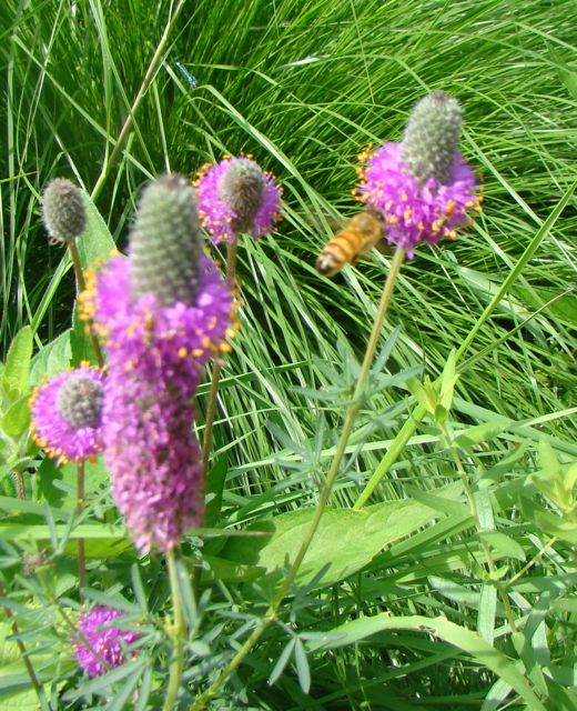 bee on purple prairie clover 2013
