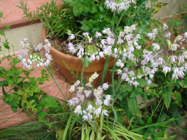 front steps, nodding wild onion