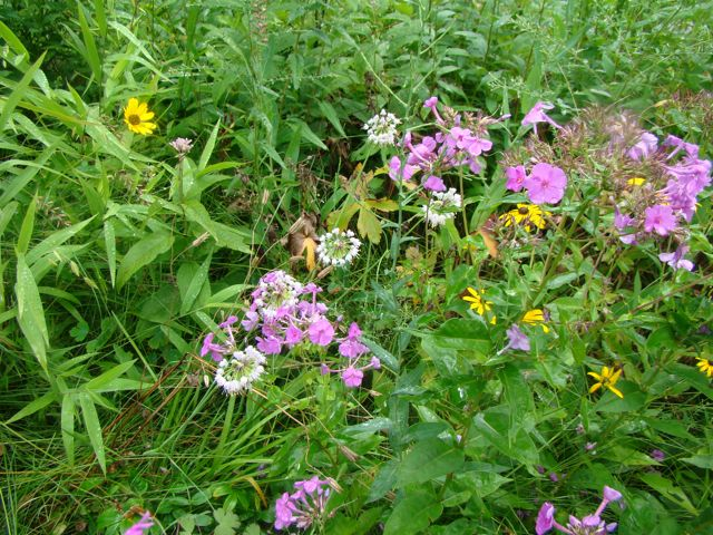 nodding wild onion and phlox