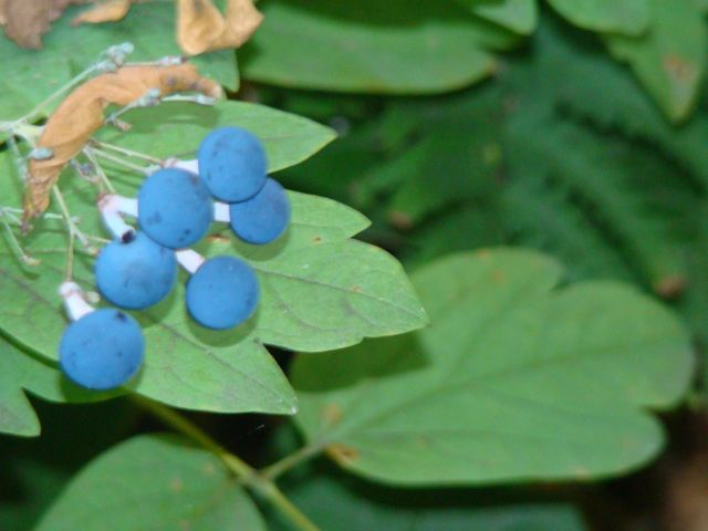blue cohosh berries 2014
