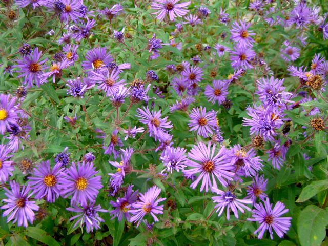 new england aster 2014