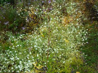 prairie baby's breath oct