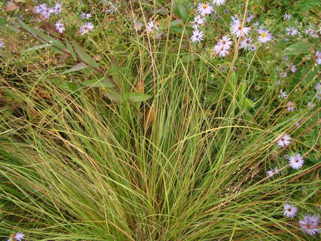 prairie dropseed fall 2014
