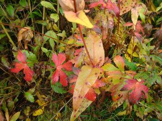 wild geranium oct red leaves