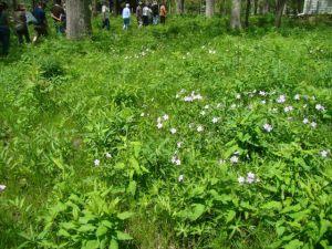 brenda savanna wild geranium