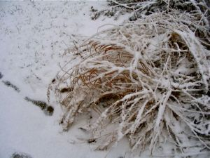 Prairie Dropseed snow