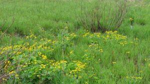 marsh marigold BSF